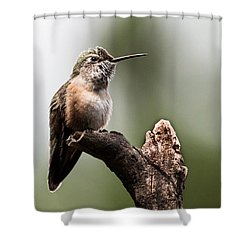 Broad-tailed Hummingbird Sit  Shower Curtain