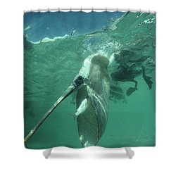 Brown Pelican Catching Mullet Shower Curtain by Tui De Roy