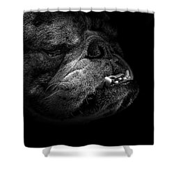 Bull Dog Shower Curtain by Bob Orsillo