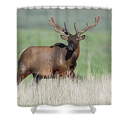 Shower Curtain featuring the photograph Bull Elk In Velvet by Jack Bell