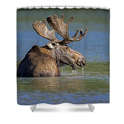Shower Curtain featuring the photograph Bull Moose At Fishercap by Jack Bell