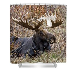 Bull Moose In Autumn Shower Curtain by Jack Bell