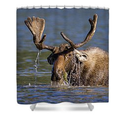 Bull Moose Sampling The Vegetation Shower Curtain by Jack Bell