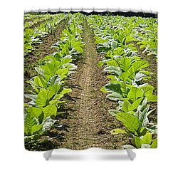 Burley Tobacco Shower Curtain