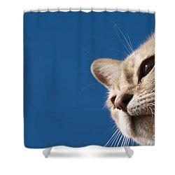 Burmilla Nose Shower Curtain by Anne Gilbert