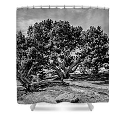 Bw Limber Pine Shower Curtain