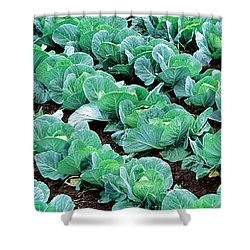 Cabbage, Yamhill Co, Oregon, Usa Shower Curtain by Panoramic Images