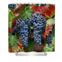 5b6374-cabernet Sauvignon Grapes At Harvest Shower Curtain