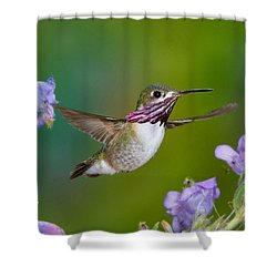 Calliope Hummingbird Shower Curtain by Anthony Mercieca