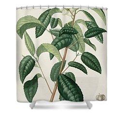 Camellia Thea Shower Curtain by LFJ Hoquart