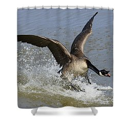 Canada Goose Touchdown Shower Curtain by Bob Christopher