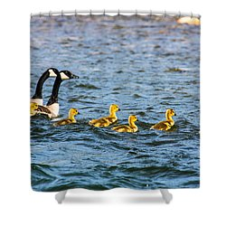 Canadian Geese And Goslings Shower Curtain by Omaste Witkowski