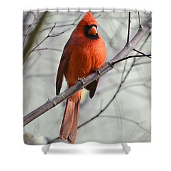 Cardinal In A Tree Shower Curtain by Susan Leggett