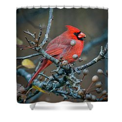 Shower Curtain featuring the photograph Cardinal In The Berries by Kerri Farley