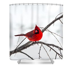 Cardinal On A Branch  Shower Curtain by Mary Carol Story