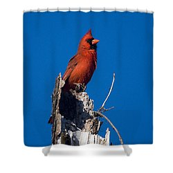 Cardinal On Honeymoon Island Shower Curtain