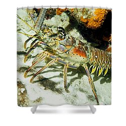 Caribbean Spiny Reef Lobster  Shower Curtain
