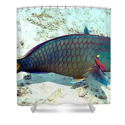 Caribbean Stoplight Parrot Fish In Rainbow Colors Shower Curtain by Amy McDaniel
