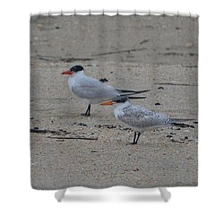 Shower Curtain featuring the photograph Caspian Tern Young And Adult by James Petersen