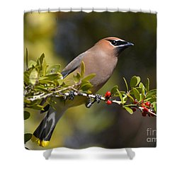 Shower Curtain featuring the photograph Cedar Waxwing And Red Berries by Kathy Baccari