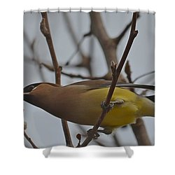 Shower Curtain featuring the photograph Cedar Waxwing Feasting In Foggy Cherry Tree by Jeff at JSJ Photography