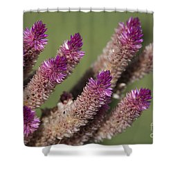 Celosia - Amaranthaceae Shower Curtain by Sharon Mau