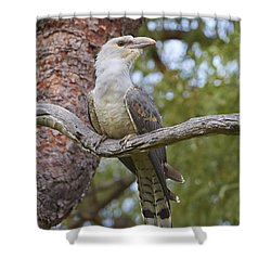 Channel-billed Cuckoo Fledgling Shower Curtain by Martin Willis