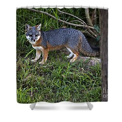 Channel Island Fox Shower Curtain by David Millenheft