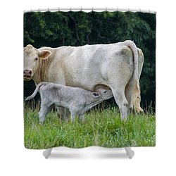 Charolais Cattle Nursing Young Shower Curtain