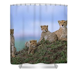 Cheetah Mother And Cubs Masai Mara Shower Curtain by Yva Momatiuk John Eastcott