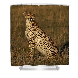Cheetah On Savanna Masai Mara Kenya Shower Curtain by Hiroya Minakuchi