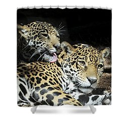 Shower Curtain featuring the photograph Jaguars Lounging And Licking by Bradford Martin