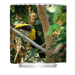 Chestnut-mandibled Toucan Shower Curtain by Art Wolfe