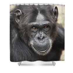 Chimpanzee Portrait Ol Pejeta Shower Curtain by Hiroya Minakuchi