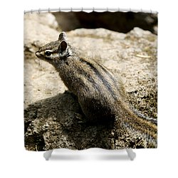 Chipmunk On A Rock Shower Curtain by Belinda Greb
