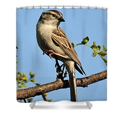 Chipping Sparrow 246 Shower Curtain