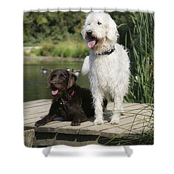 Chocolate And Cream Labradoodles Shower Curtain by John Daniels