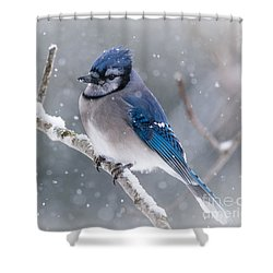 Christmas Card Bluejay Shower Curtain by Cheryl Baxter