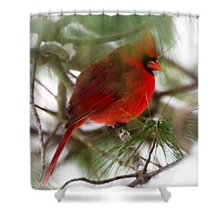 Shower Curtain featuring the photograph Christmas Cardinal by Kerri Farley