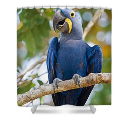 Close-up Of A Hyacinth Macaw Shower Curtain