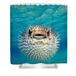 Close-up Of A Puffer Fish, Bahamas Shower Curtain