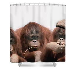 Close-up Of Three Orangutans Shower Curtain
