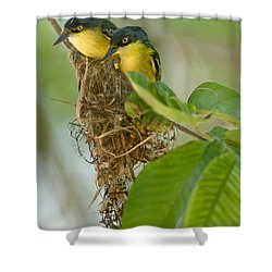 Close-up Of Two Common Tody-flycatchers Shower Curtain