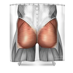 Close-up View Of Human Gluteal Muscles Shower Curtain by Stocktrek Images
