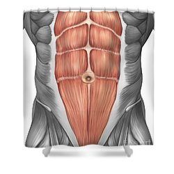 Close-up View Of Male Abdominal Muscles Shower Curtain by Stocktrek Images