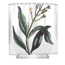 Clove Eugenia Aromatica Shower Curtain by Anonymous