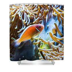 Clown Fish - Anemonefish Swimming Along A Large Anemone Amphiprion Shower Curtain by Jamie Pham