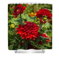 Cluster Of Dahlias Shower Curtain