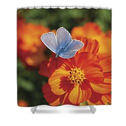 Common Blue Butterfly Shower Curtain by Lana Enderle