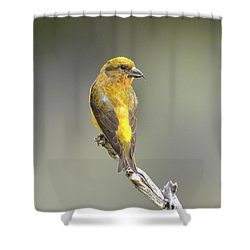 Common Crossbill Loxia Curvirostra Shower Curtain